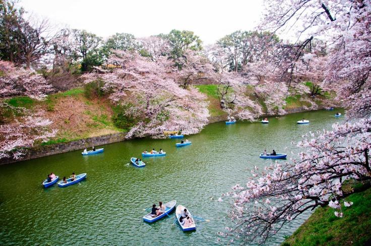 Cherry Blossoms_Tokyo